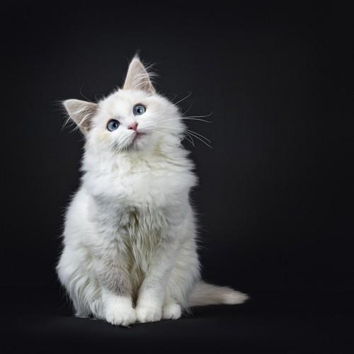 座って首を傾げて上を見る猫