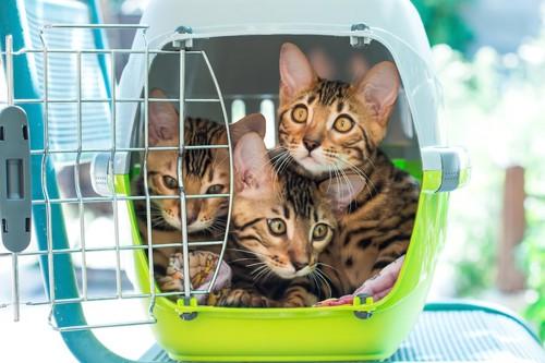 キャリーケースに入る三匹の子猫