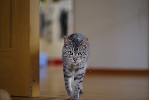 開いている扉からこちらに向かって歩く猫