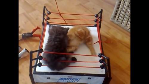 リングの上に猫