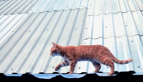 トタン屋根の上を歩く猫