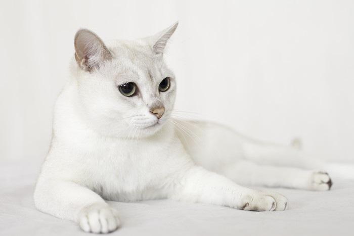 白色のバーミラ