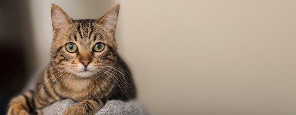まっすぐ見るキジ猫