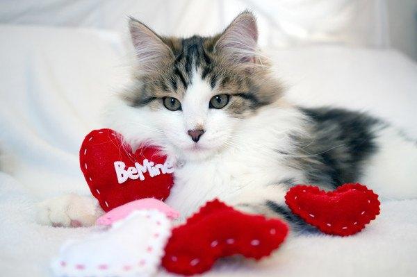 赤いハートのクッションを周りに置いた猫