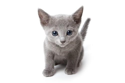 こちらを見つめて座るロシアンブルーの子猫