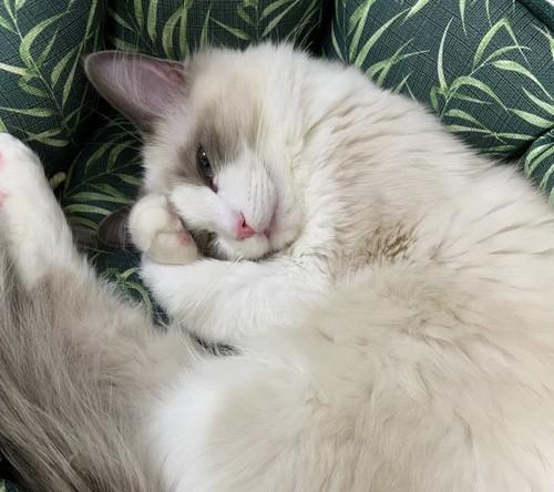 寝ている白い長毛猫