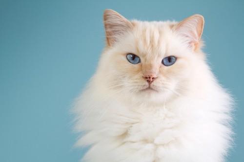 青い目をしたラグドール