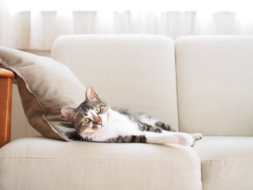 ソファーで寝そべってこちらを見つめる猫