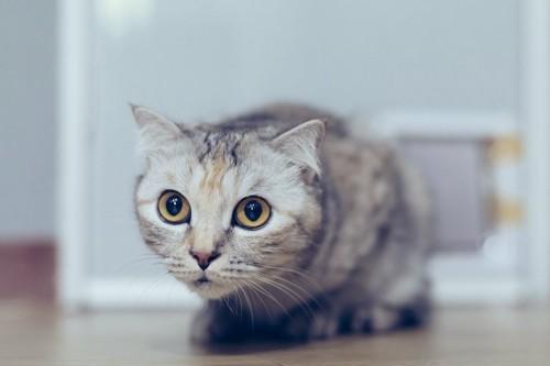 姿勢を低くして驚いたような顔をする猫