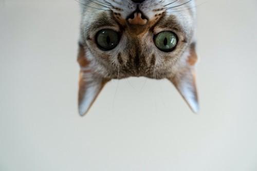 上からのぞき込む猫の顔アップ