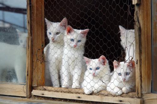 ケージ内にいる白猫たち
