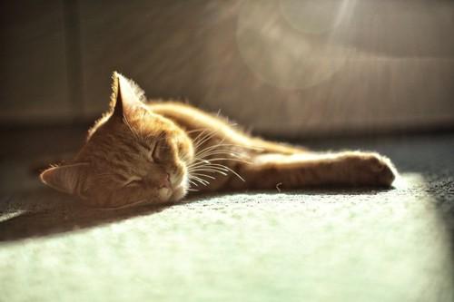 陽に当たる猫