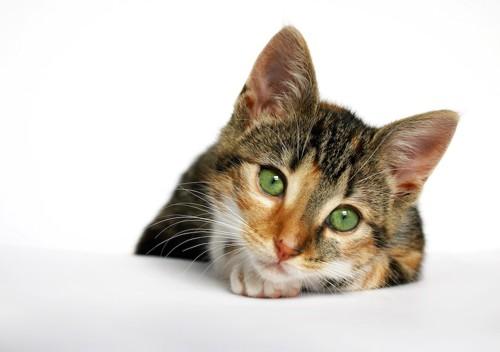こちらを見つめ首をかしげる猫