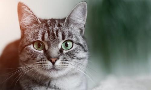 こちらを真っ直ぐに見つめる猫