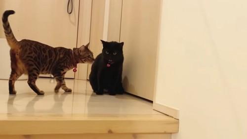 座る黒猫と横に立つベンガル