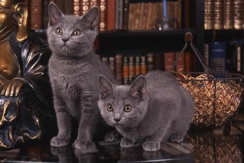 テーブルの上で遊ぶ二匹のシャルトリューの子猫