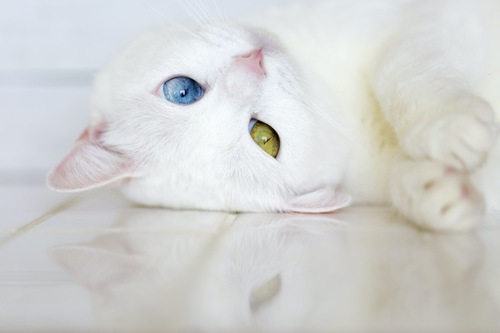 床に寝転ぶオッドアイの白猫