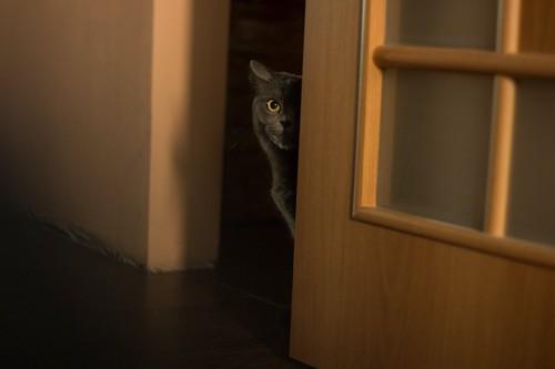 ドアの隙間からこちらの様子を伺う猫