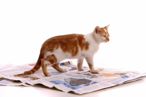 新聞紙の上に立つ猫