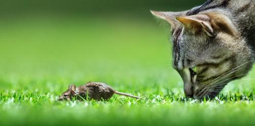 草の上でネズミに顔を近づける猫