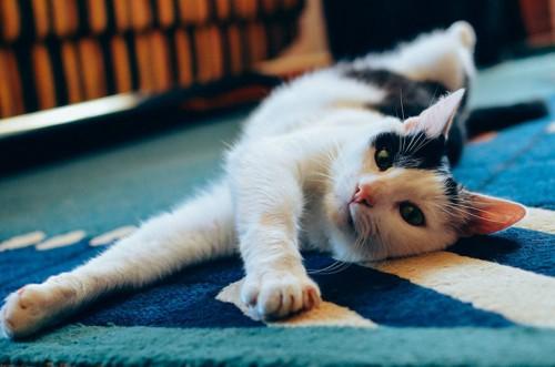 カーペットに寝転んでこちらを見る猫