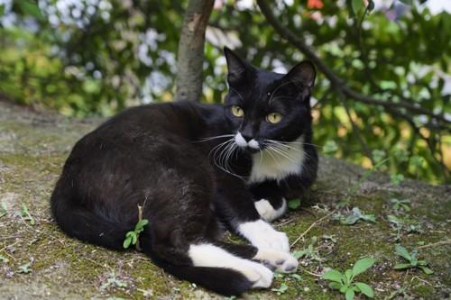 黒が多目のクロシロ猫