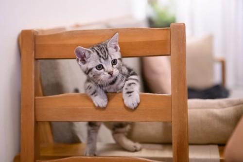 椅子で遊ぶ猫