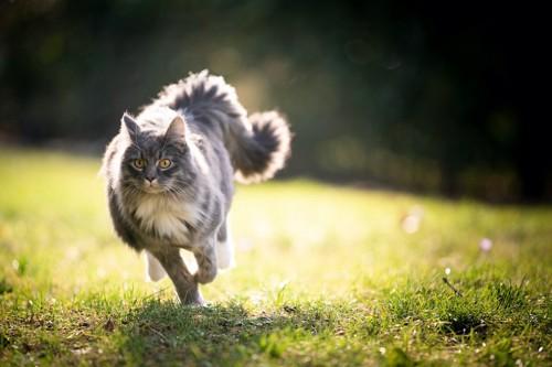 原っぱを全速力で走っている猫