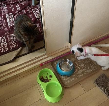 ご飯の前で座るキジトラと白黒ぶち