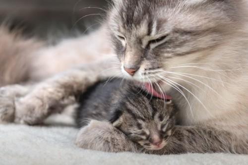 子猫をなめる母猫