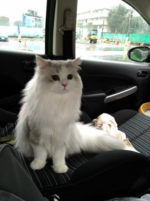 車のシートに座る猫