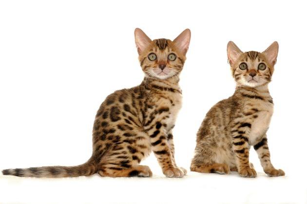 レパードキャットの子猫