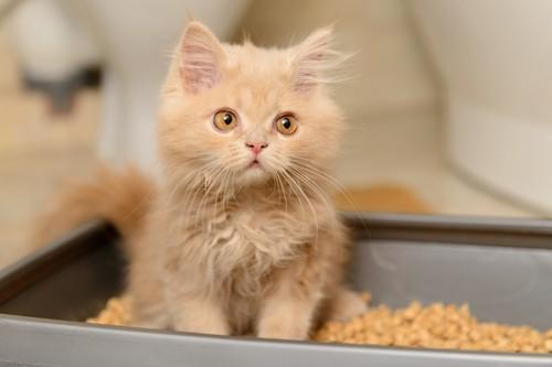 猫用のトイレに入った子猫