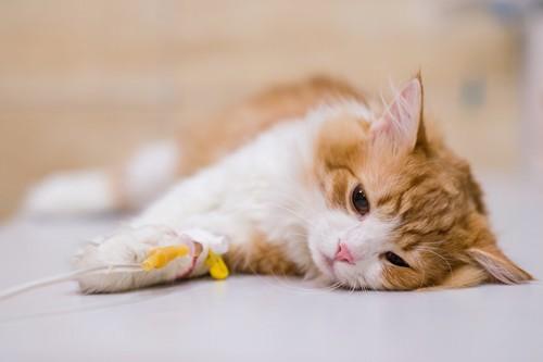 病院で横になって点滴をされている猫