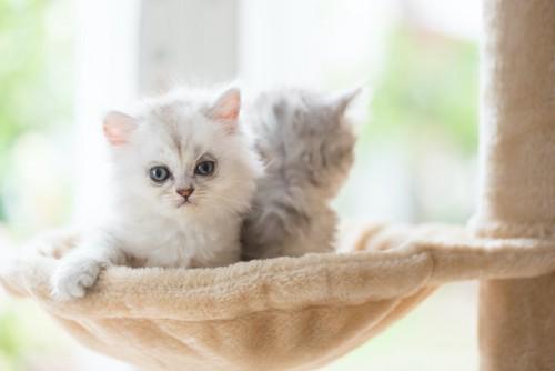 ハンモックでくつろぐ2匹の子猫