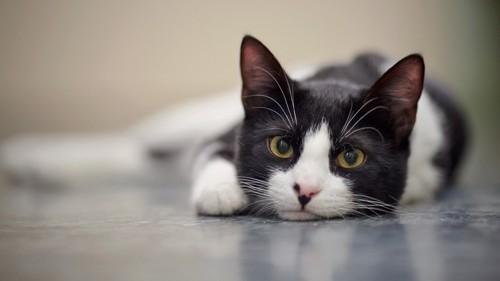 うつ伏せの白黒猫