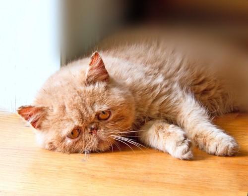 床で寝そべっている猫
