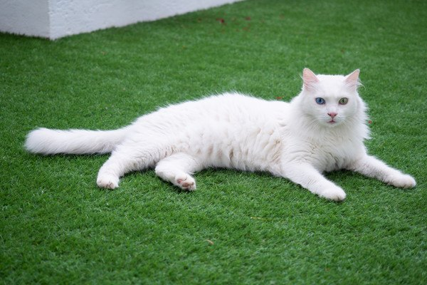 草の上に寝転ぶヴァン猫