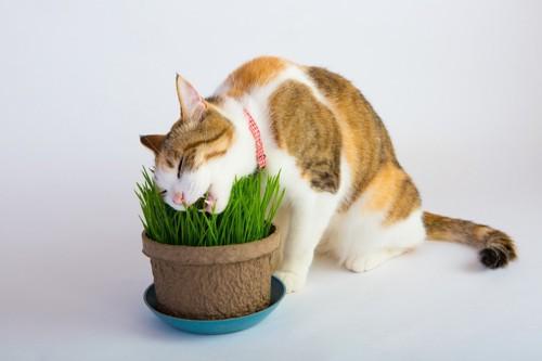 猫草を食べる首輪をつけた猫