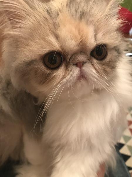 ふわふわで可愛い猫