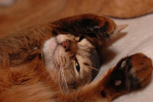 手を挙げて寝転ぶソマリ