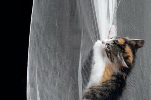 カーテンに登っていたずらをする子猫