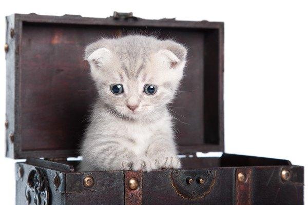 箱の中のスコティッシュの子猫