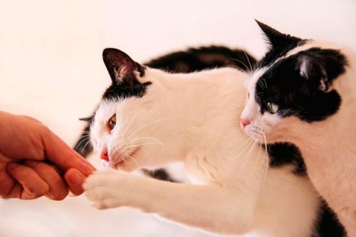 人の手からおやつをもらう二匹の猫
