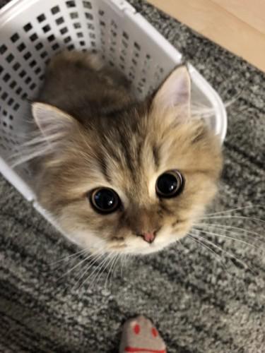 洗濯かごに入るもふもふな子猫