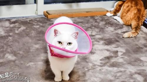 カメラを見る白猫