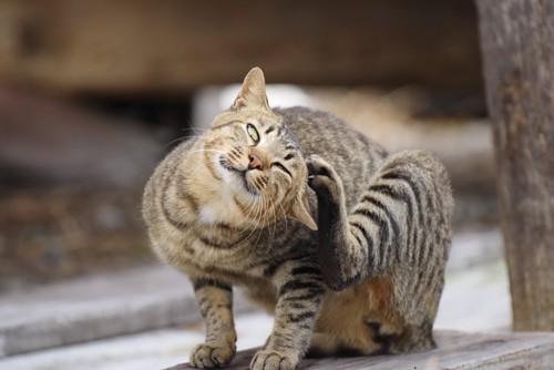 左脚で頭を掻くキジトラ