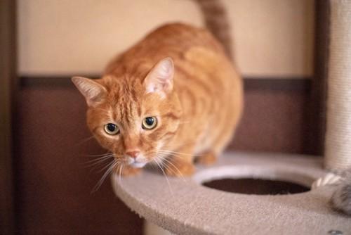 キャットタワーの上で何かを狙う茶トラ猫
