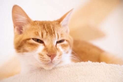 目を細めている茶トラの猫