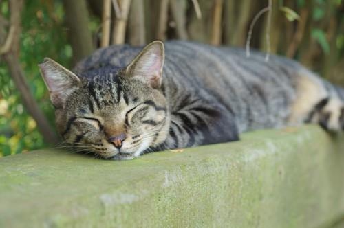 塀の上で眠る野良猫